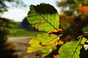 gelb grüne Rotbuchenblätter im Herbst im Gegenlicht Makro