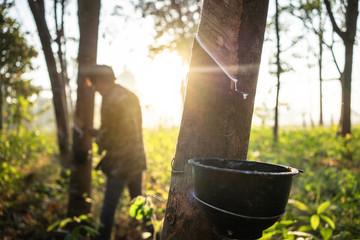 rubber tree. Fotoväggar