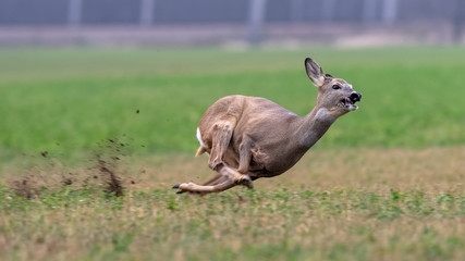 Sprinting roe deer (capreolus capreolus) buck in natural summer meadow. Dynamic action photo of wild animal running. Endangered animal escape into safety. Action scene from nature.