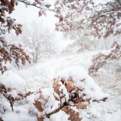 Oak trees in a meadow with snow in winter