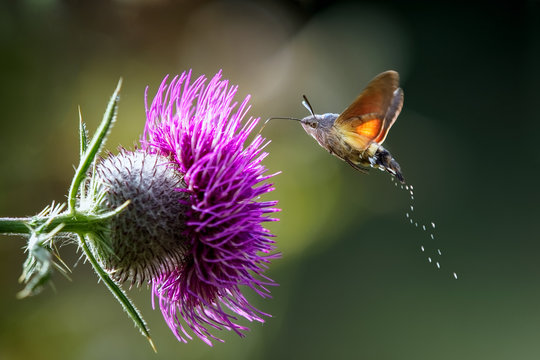 An hummingbird hawk-moth (Macroglossum stellatarum) feeding nectar from woolly thistle flower.