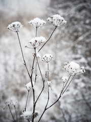 Plant covered with snow in winter