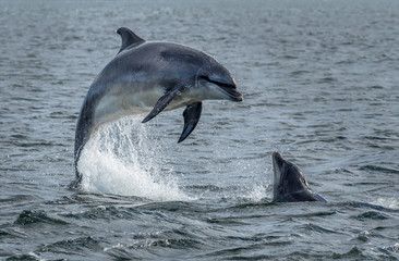 Fotobehang Dolfijn Wild Bottlenose Dolphins Jumping Out Of Ocean Water At The Moray Firth Near Inverness In Scotland