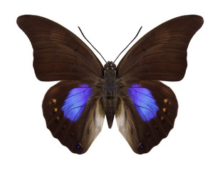 Butterfly Prepona chromus on a white background