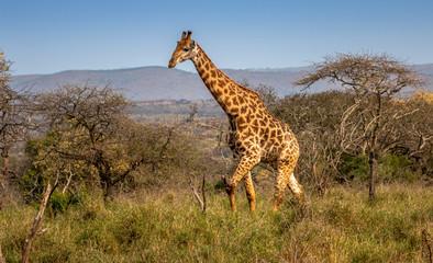Giraffe walking by
