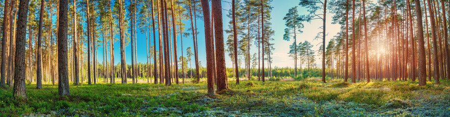 Wall Mural - Coniferous forest with morning sun shining