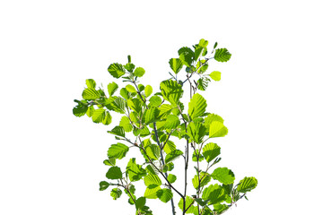 Green bush isolated. Alder branches with young spring solar leaves stretch upwards. Central position, front view.