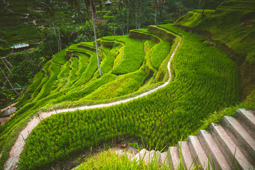 Tegalalang rice terrace in the Ubud, Bali. Indonesian landscape. Famous scene of the green paddies involving the subak (traditional Balinese cooperative irrigation system). Popular tourist attraction.