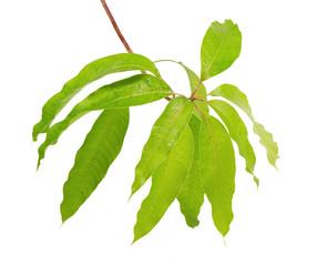 Fresh green mango leaf isolated white background