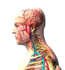 Persona vista di profilo, cervello, viso, vista ai raggi x di arterie e vene, spina dorsale e cassa toracica. Corpo umano, anatomia, 3d rendering
