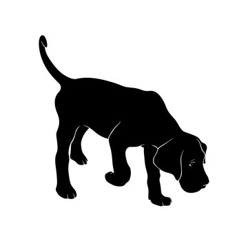 The dog is sniffing. The dog is breed Cane Corso is hear smell. Silhouette