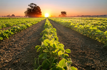 Soy field and soy plants growing in rows, at sunset