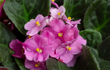 Flowering Saintpaulias, commonly known as African violet. Selective focus.