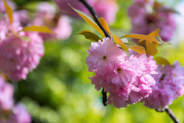 pink sakura blossom in spring. beautiful flowers on a twig in green garden background. wonderful nature scenery