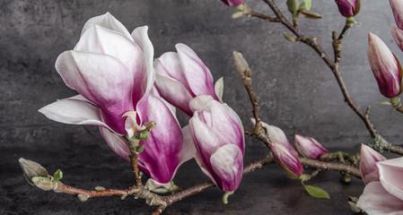 Wunderschölner Magnolienzweig Magnolie