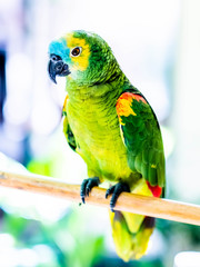 Beautiful colorful parrot sitting on the wooden stick on the blurred background