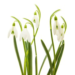 5 spring snowdrop flowers isolated on white background with clipping path