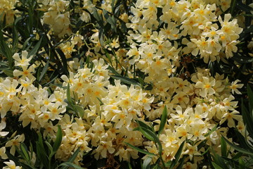 Close up of yellow Nerium oleander at Lake Maggiore, Italy