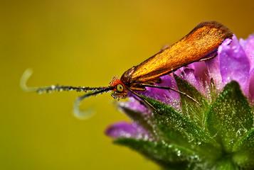 Macro image of Brassy Long horn moth - Nemophora metallica