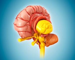Human brain anatomy and arteries, illustration