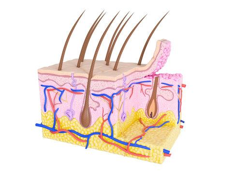 Illustration of skin cross-section