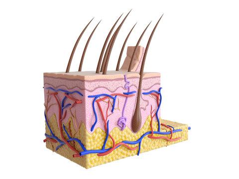 Illustration of the human skin