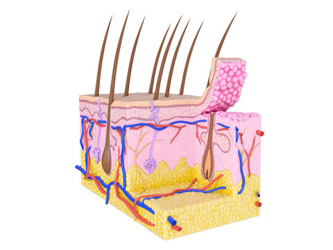 Illustration of the human skin
