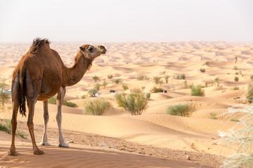 Camel Overlooking the Sahara Desert