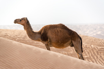A Single Camel Alone in the Sahara