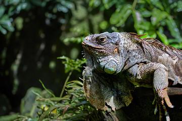 Green Iguana basking in the sun, close-up portrait