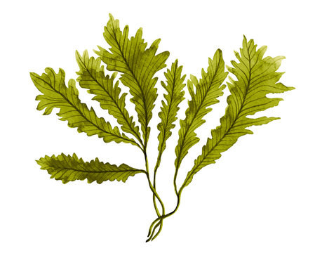 Green Seaweed, kelp in the ocean, watercolor hand painted element isolated on white background. Watercolor illustration design. With clipping path.