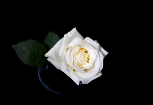 White rose on a black background. Macro shooting.