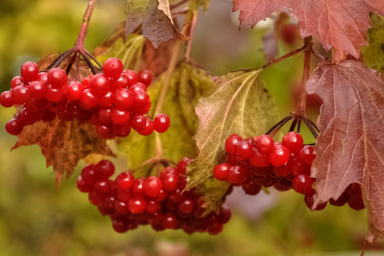 Bunch of red viburnum berries on a branch.