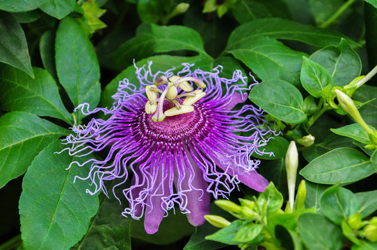Purple Passiflora flower in the garden with leaves,