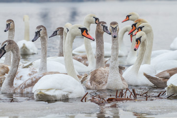 Portraits of swans in winter river