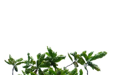 Tree leaves with branches on white isolated background for green foliage backdrop