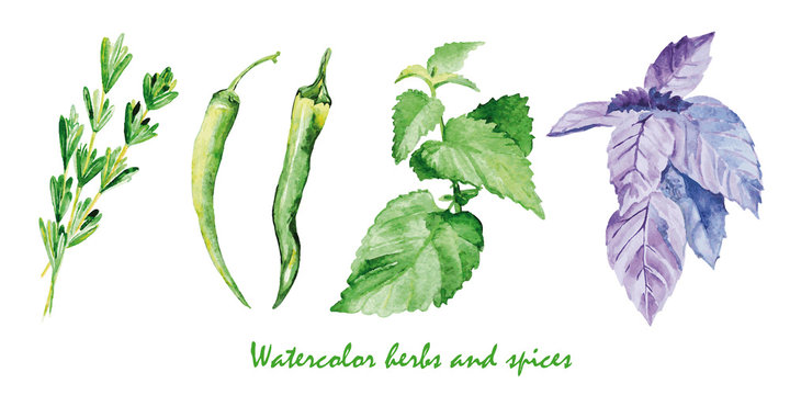 Watercolor herbs and spices. Hand painted realistic illustration