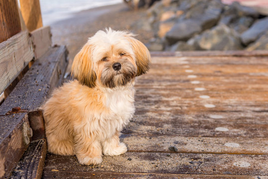 Lhasa Apso puppy playing on beach