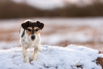 Jack Russell Terrier in white winter landscape. Doggy 8 years old.