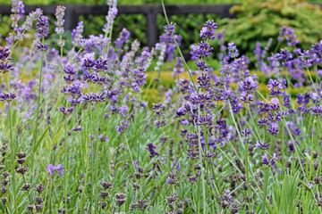 Blooming lavender field close up.