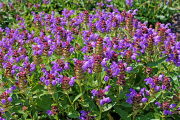 Prunella vulgaris (known as common self-heal, heal-all, woundwort, heart-of-the-earth, carpenter's herb, brownwort and blue curls).