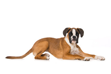 Young boxer dog lying isolated on white background