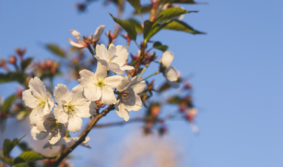 White sakura flowers blossom. Blue sky. Japan cherry tree in garden, spring time