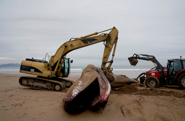 A 16,70-metre long fin whale that beached itself on Sunday following heavy storms in the Bay of Biscay is removed by diggers at Sopela Beach