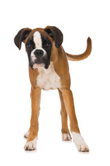 Young boxer dog isolated on white background