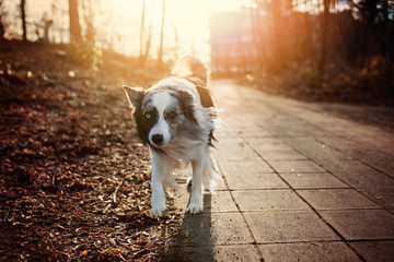 Border collie dog on a pavement in the evening sun