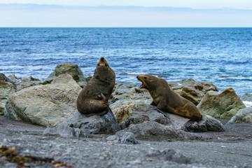 fur seals at the coast of cape palliser, new zealand 12