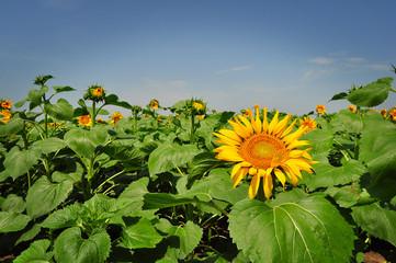 Sunflower field in the summer