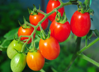 Cherry tomatoes in the garden, organic healthy food
