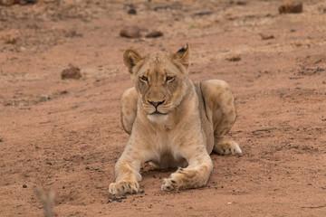 Lion in the Kruger national Park, South Africa